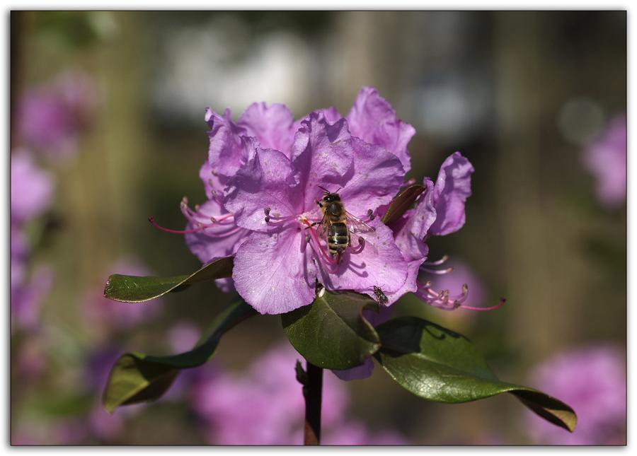 Rhododendronblüte im März