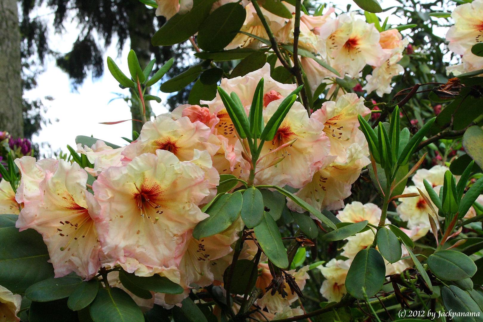 Rhododendronblüte in der Baumschule in Schermbeck - Bricht (3)