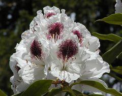 Rhododendronblüte mit dunkelrotem Fleck
