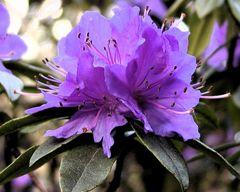 Rhododendronblüte, violett