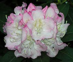 Rhododendronblüte, weißrosa, etwas gemustert