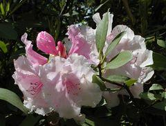 Rhododendronblüte, weißrosa mit Blättern