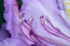 Rhododendronblüteneinblick