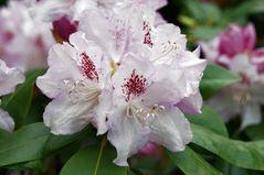 Rhododendronblütenpracht