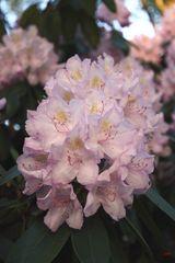Rhododendronbuket