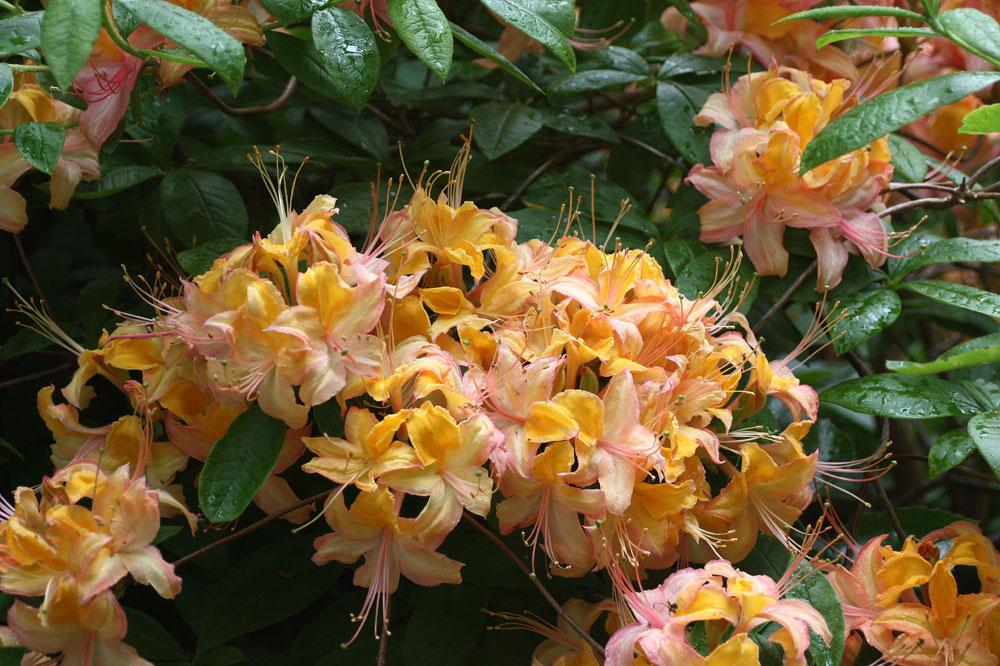 Rhododendrongarten Dresden (14)