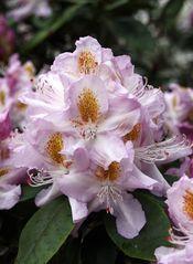 Rhododendrongarten Dresden (15)