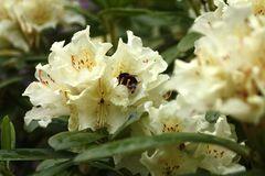 Rhododendrongarten Dresden (17)