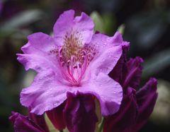 Rhododendrongarten Dresden Loschwitz (10)