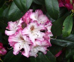 Rhododendrongarten Dresden Loschwitz (11)