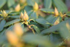 Rhododendronknospen