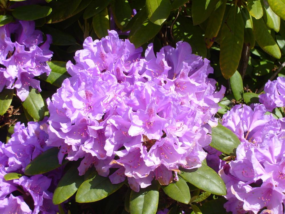 Rhododendronpark in Graal Müritz