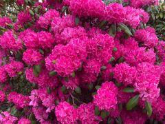 Rhododendronpracht