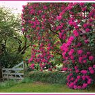Rhododendrons at Mount Wilson