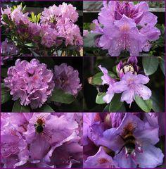 Rhododendronträume in Lila 2
