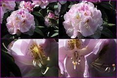 Rhododendronträume in Rosa 2