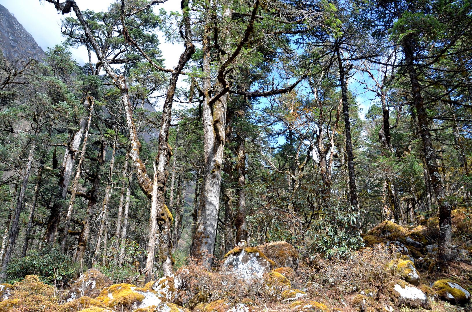 Rhododendronwald südlich von Bhimtang