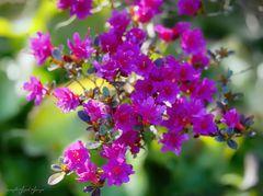 Rhododendronzauber