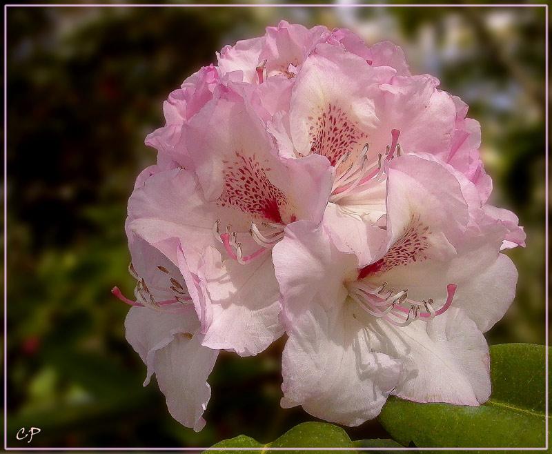 Rhododentron-Blüte