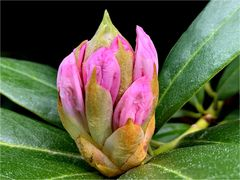 Rhododondronblüte