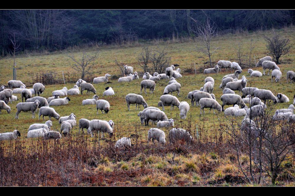 RHÖN -Schafe