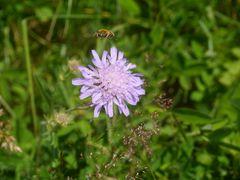 Rhönbiene im Anflug