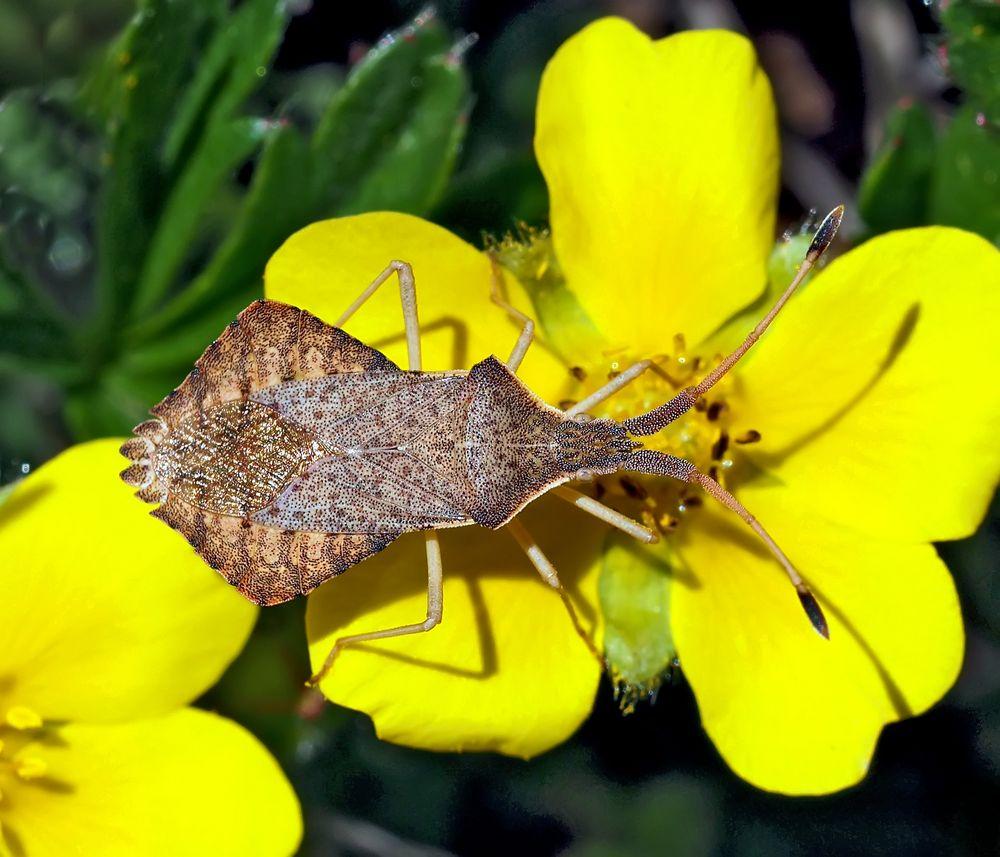 Rhombenwanze, auch Rautenwanze genannt (Syromastus rhombeus).