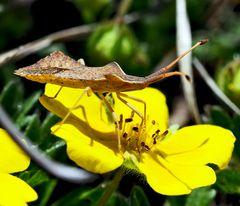 Rhombenwanze oder Rautenwanze (Syromastus rhombeus)