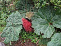 rhubarbe géante