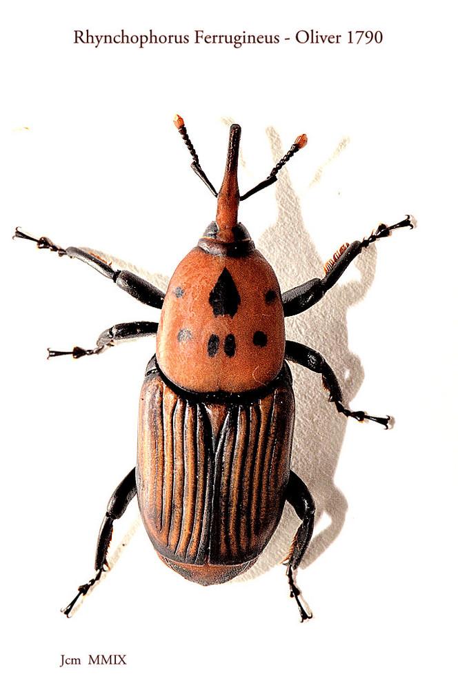 Rhynchophorus Ferrugineus - Lámina 1
