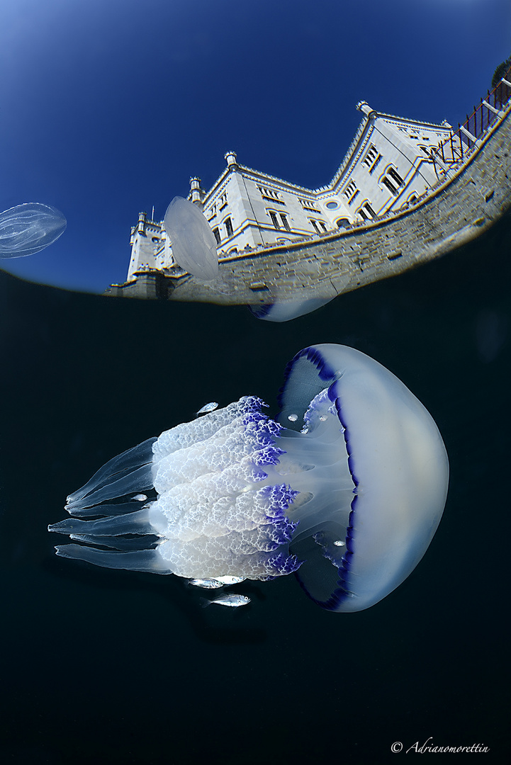 Rhyzostoma pulmo sotto il castello di Miramare