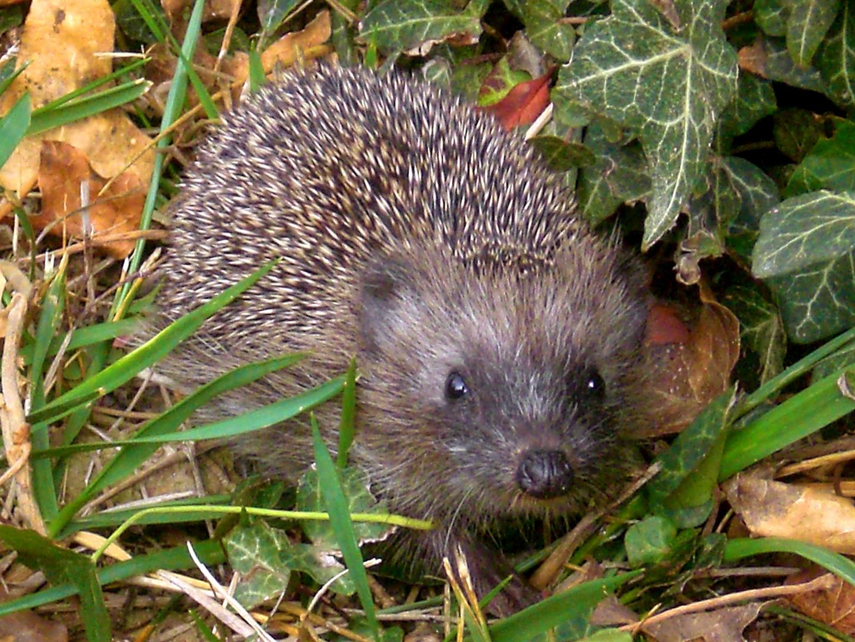 Riccio ospite nel mio giardino foto immagini animali mammiferi allo stato libero animali - Riccio in giardino ...