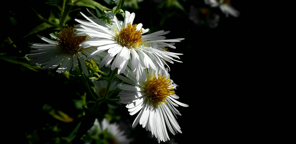 Rice Button Aster
