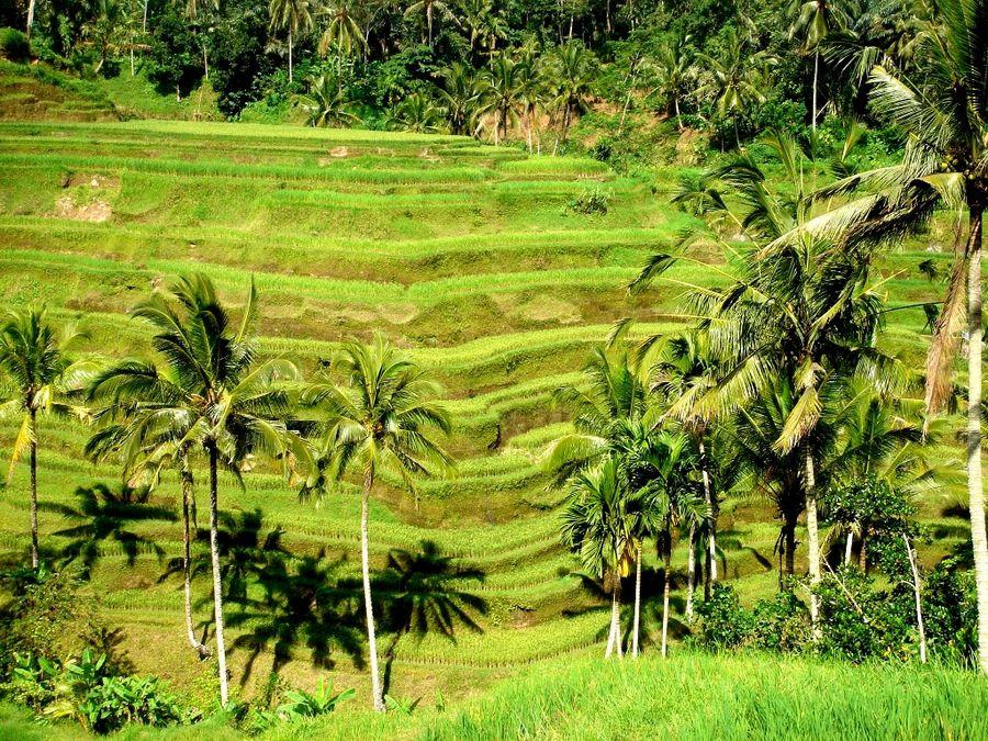 Rice Field in Ubud-Bali