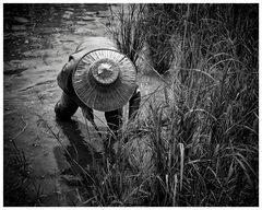 rice harvest - no1