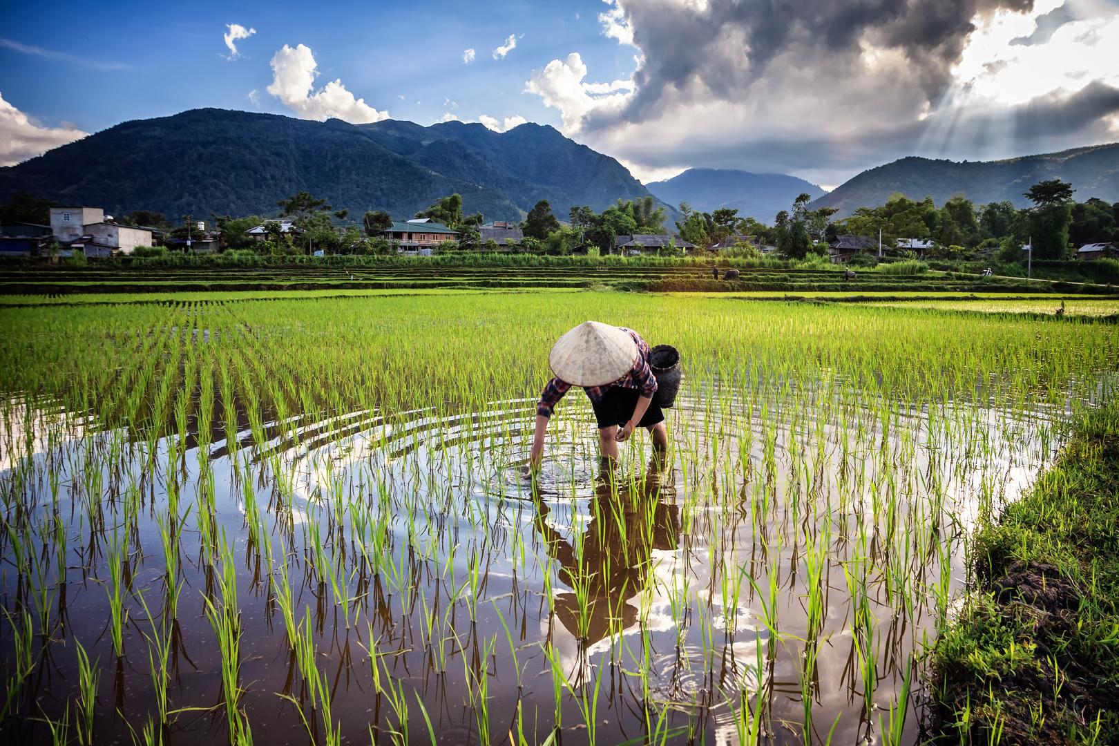 Rice job