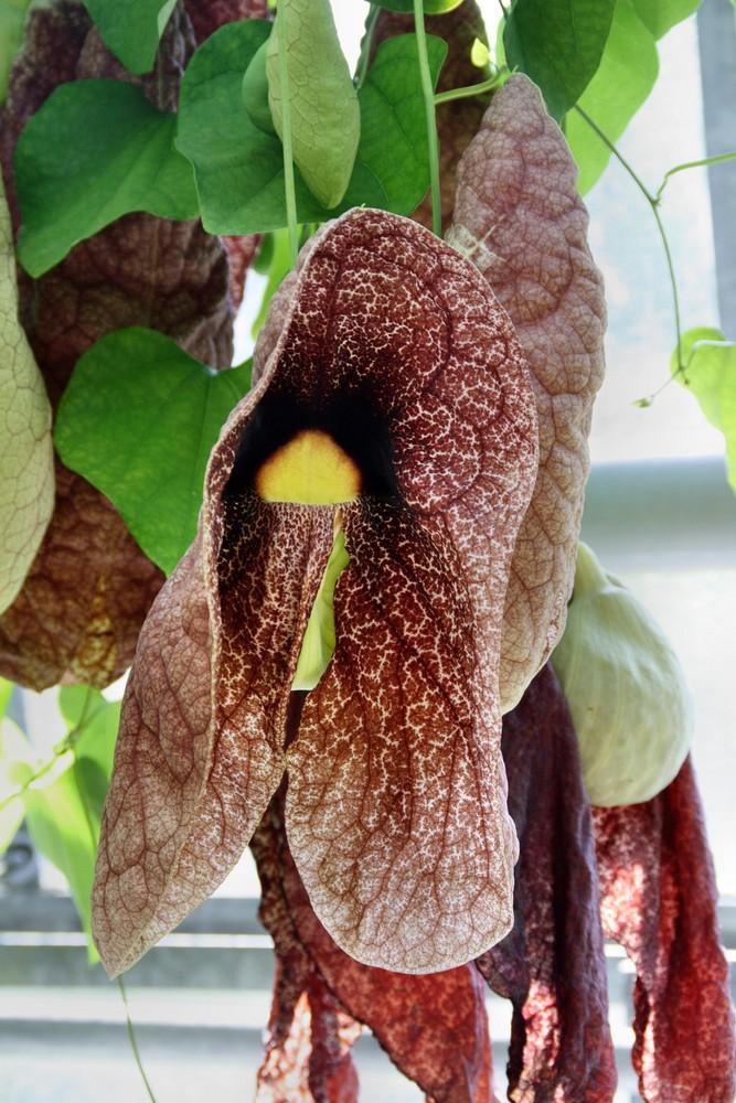 Riesen Blüten