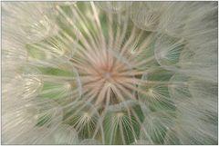 Riesen-Pusteblume [Wiesen-Bocksbart]