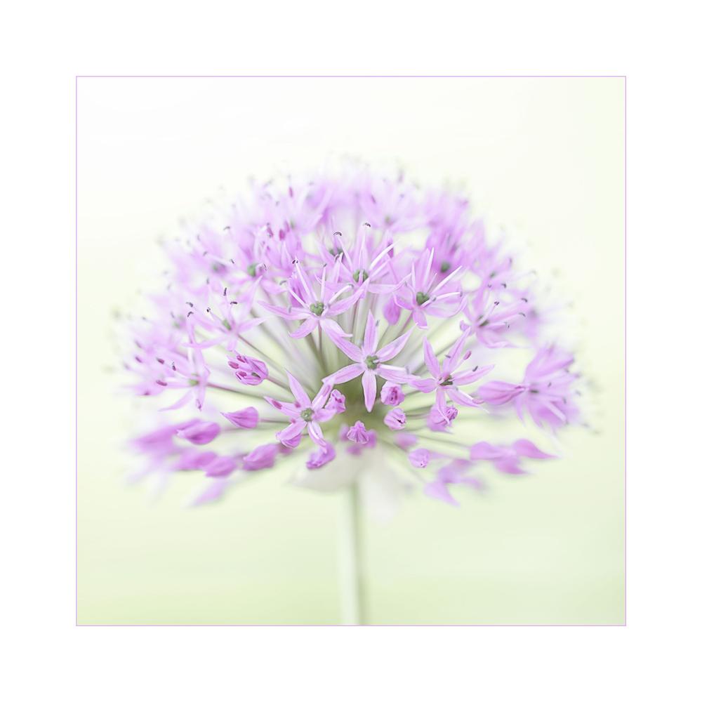 Riesen-Schnittlauch-Blüte