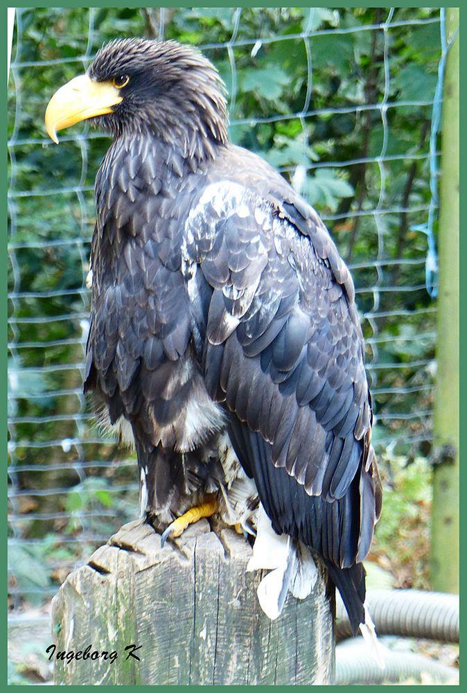 Riesen-Seeadler - Falknerei Remscheid