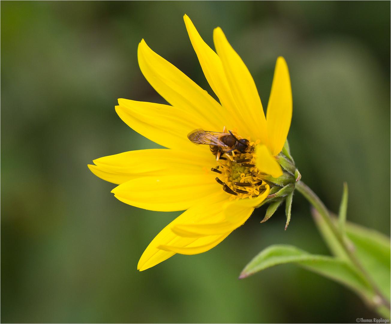 Riesen - Sonnenblume (Helianthus giganteus)....