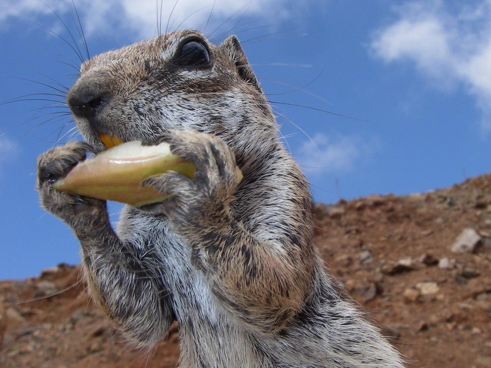 """""""Riesen""""-Streifenhörnchen"""