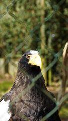 Riesenadler Beobachtet
