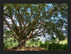 Riesenbaum bei Taunggyi