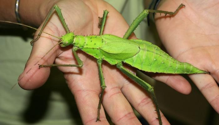 Riesengespenstheuschrecke