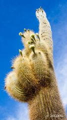 Riesenkaktus - Carnegiea gigantea