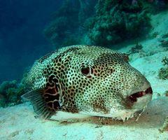Riesenkugelfisch, unrasiert