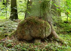 Riesenpilz