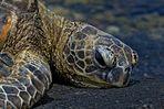 Riesenschildkröte am Strand von Big Island