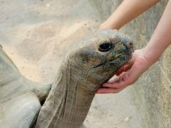 Riesenschildkröte - Begegnung zweier Welten